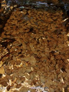 Pumpkin Seeds ready for roasting